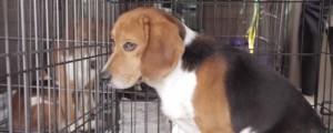beagle freedom las vegas mayo 2014