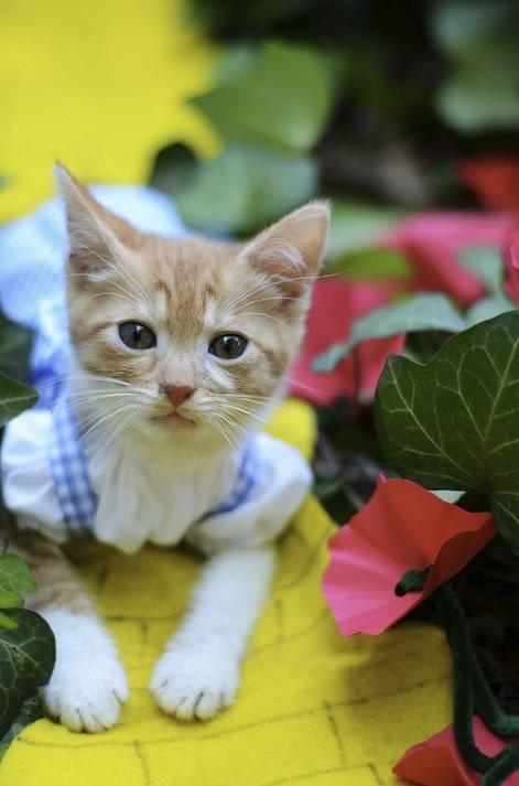 gatos disfrazados de personajes - dorothy - el mago de oz 02