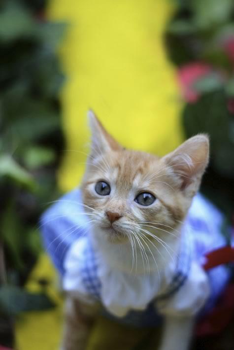 gatos disfrazados de personajes - dorothy - el mago de oz 03