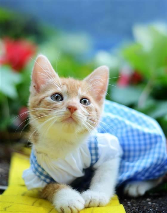 gatos disfrazados de personajes - dorothy - el mago de oz