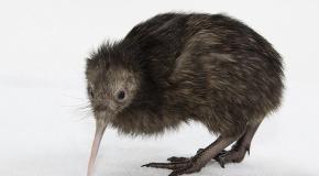 kiwi probo una pepita dorada
